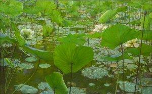 Regendag Lotus
